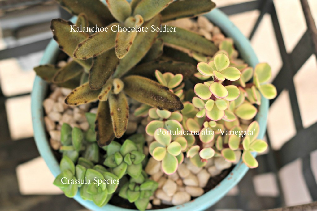 potted succulents blue