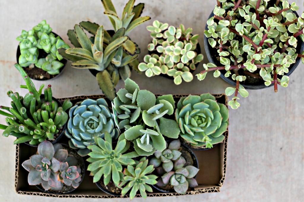 succulents.1