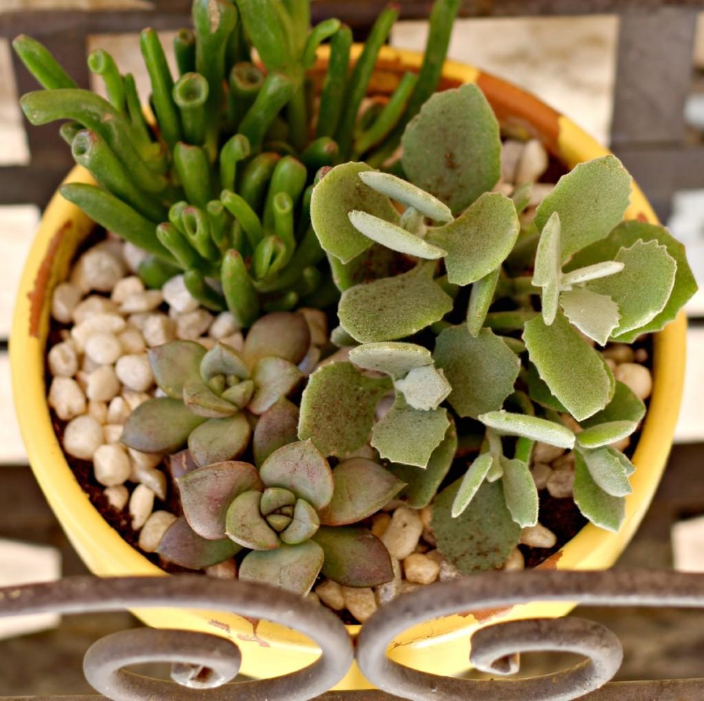 succulents.14
