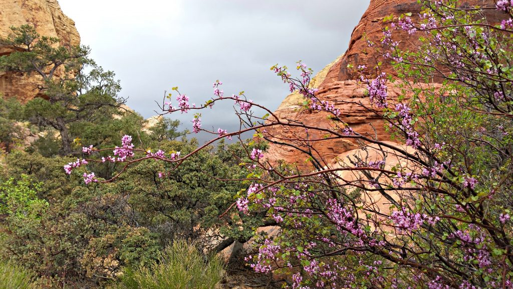 Red Rock Canyon spring flowers and rain
